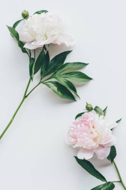 top view of light pink peony flowers with leaves on white