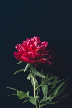 top view of one pink peony on dark background