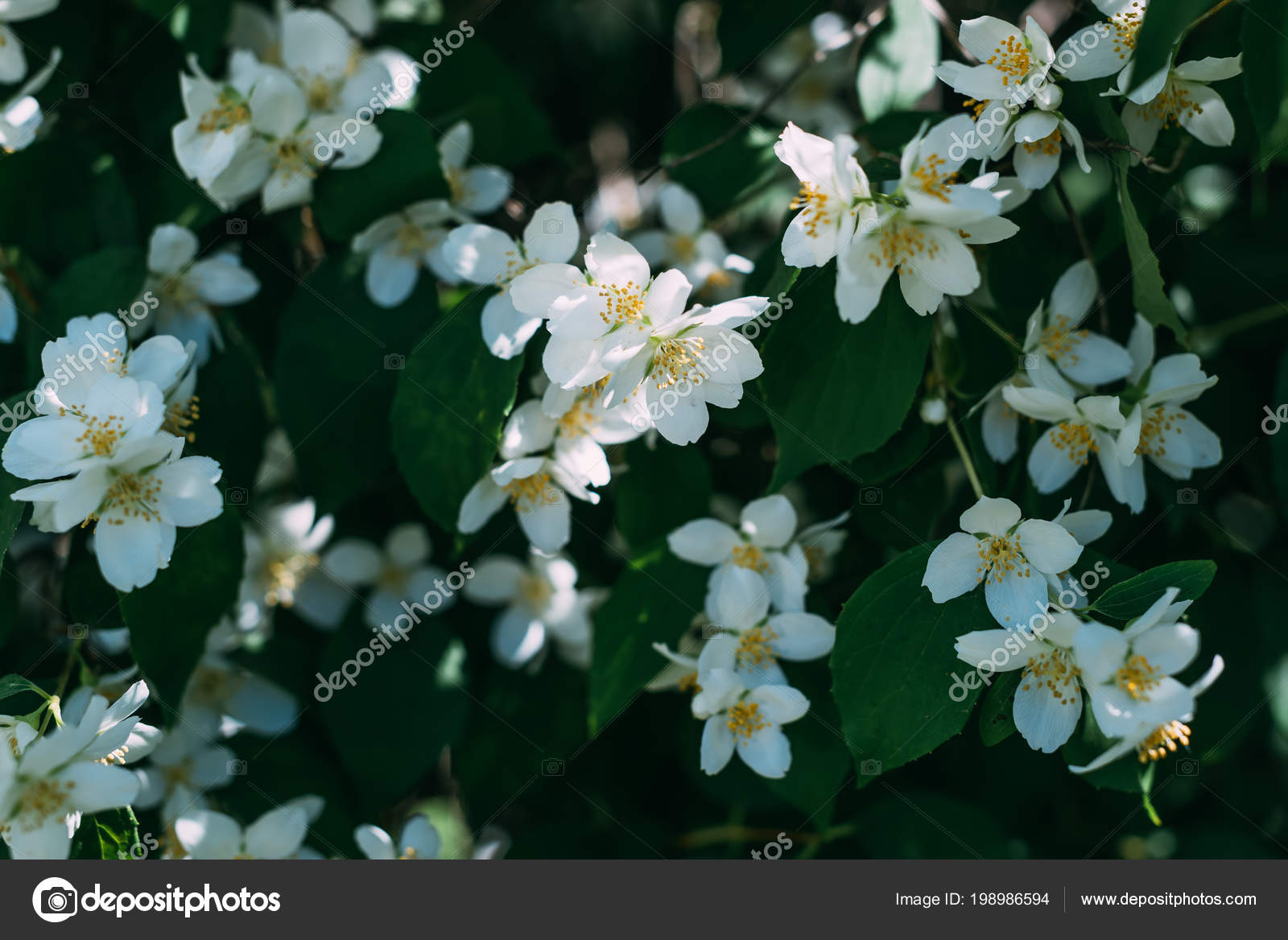 Close View White Jasmine Flowers Bush Stock Photo Katenovikova