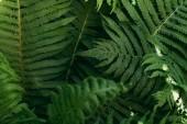 Detailní záběr pozadí s listy zelené kapradí