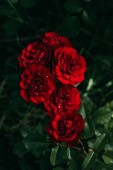 Fotografie close up view of beautiful red roses