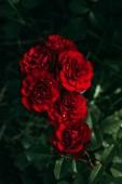 Fotografie Nahaufnahme der schöne rote Rosen