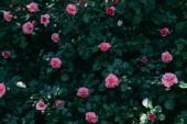 Fotografie Nahaufnahme von Rosa Rosenblüten auf grünen Busch