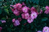 Fotografia primi piani di fiori rosa rosa sul cespuglio in giardino