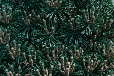 close up texture of green pine tree