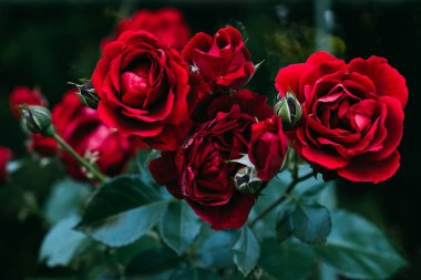 close up view of beautiful red rose flowers