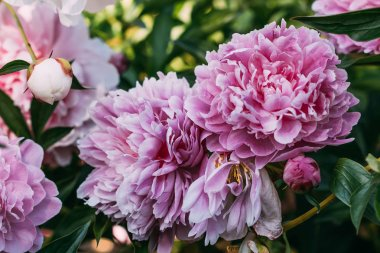 close up of pink peony flowers in garden