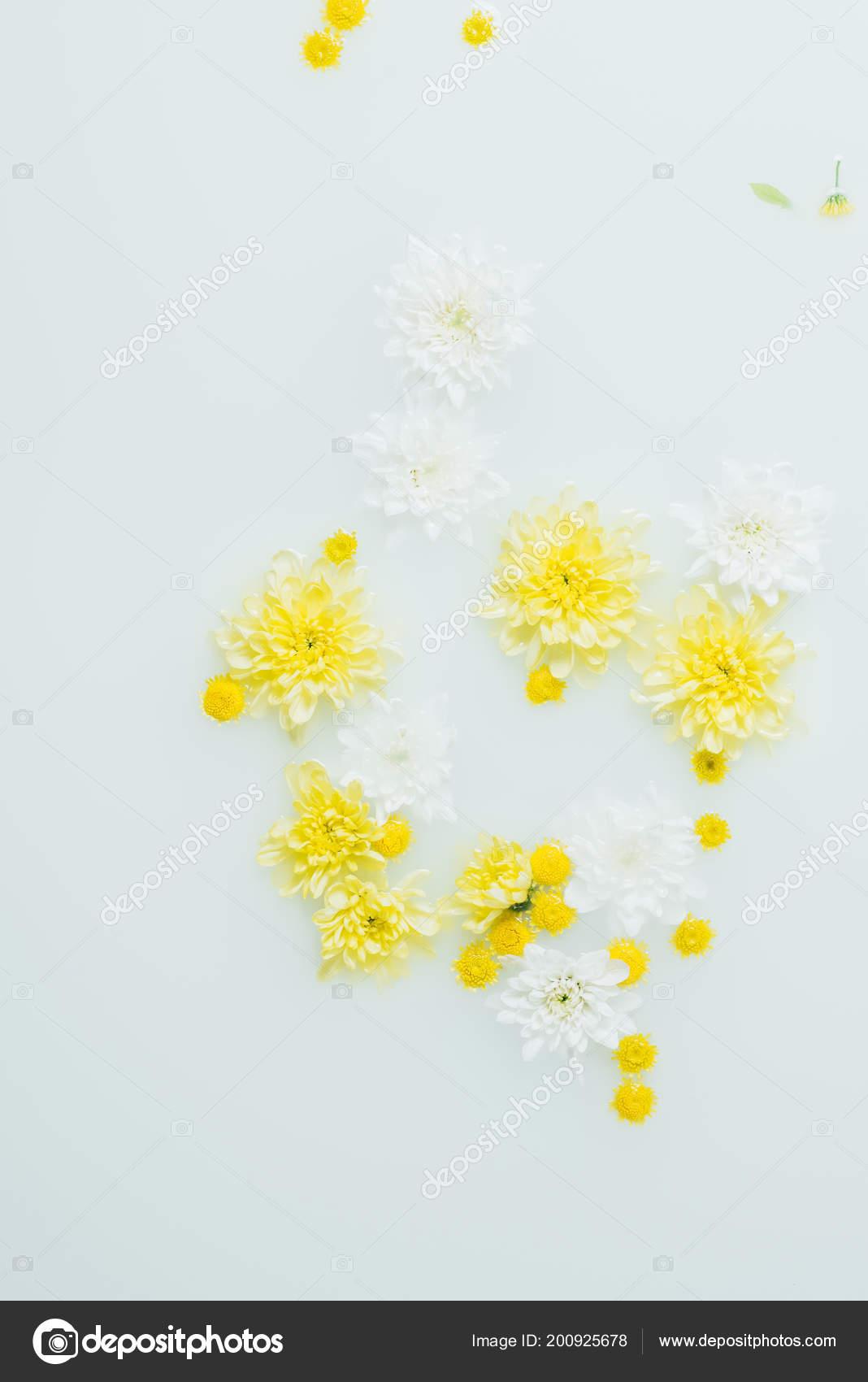 Top View Yellow White Chrysanthemum Flowers Milk Backdrop Stock