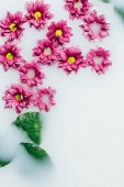 top view of beautiful pink chrysanthemum flowers and green leaves in milk backdrop