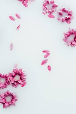 top view of beautiful pink chrysanthemum flowers and petals in milk backdrop