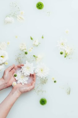 cropped shot of woman holding beautiful white chrysanthemum flowers in milk with gypsophila