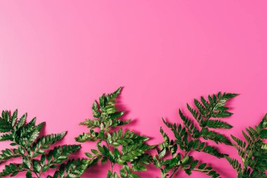top view of green fern plants on pink backdrop