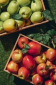 Fotografie green and red apples in wooden boxes with apple tree leaves