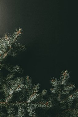 decorative green fir branches on dark background with copy space