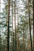 splendida vista di pini alti nella foresta