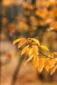 oranžové podzimní listí na rozostřeného pozadí