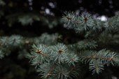 selective focus of fir tree branches background