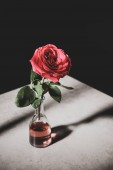 pink rose in glass bottle on stone table isolated on black