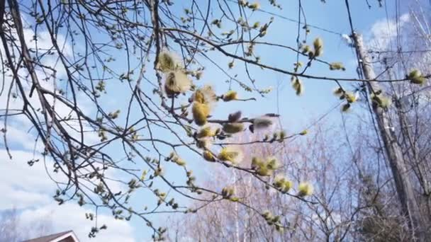 Sprigs of blooming willow against the blue sky.