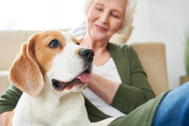 Portrait of gorgeous purebred beagle dog enjoying rubs from his senior owner sitting on couch together  at home, focus on foreground