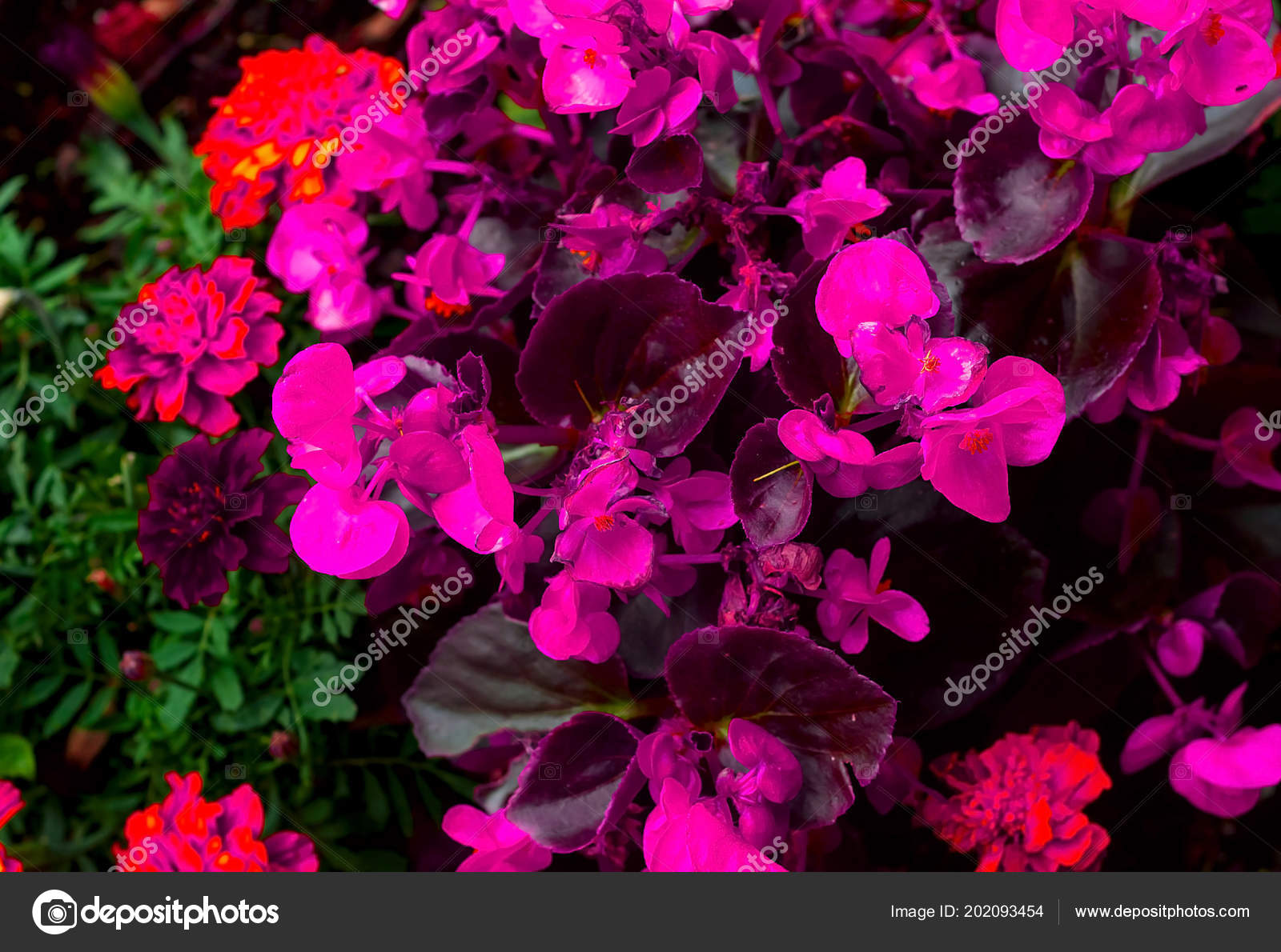 Blooming ultraviolet flowers in landscape design. Concept of urban decor, natural light, copy space, closeup– stock image