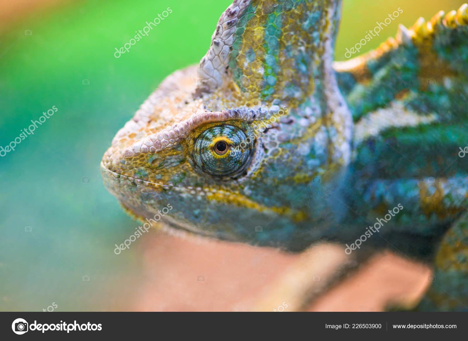 Beautiful Bright Chameleon Looks Glass Terrarium Stock Photo