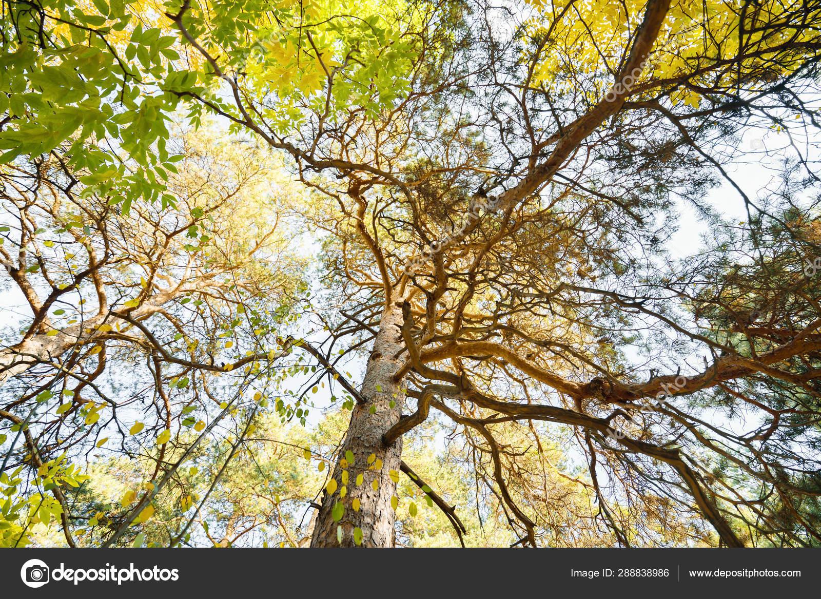 foto de Vue d'en bas sur les couronnes d'arbres dans la forêt d'automne ...