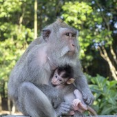 Fotografie Portrait of baby monkey and mother at sacred monkey forest in Ubud, island Bali, Indonesia. Close up