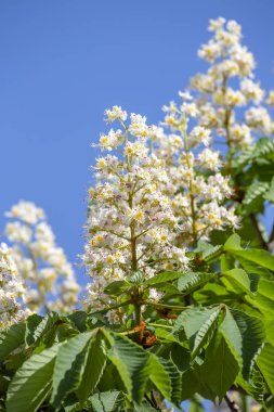 Flowering chestnut horse. White bunches of chestnut flowers on blue sky background in Kiev, Ukraine