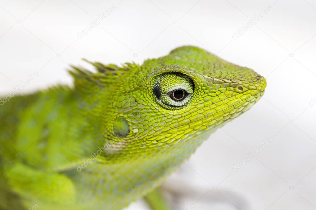 Portrait of a small green iguana in profile on the tropical island Bali, Indonesia. Close up, macro