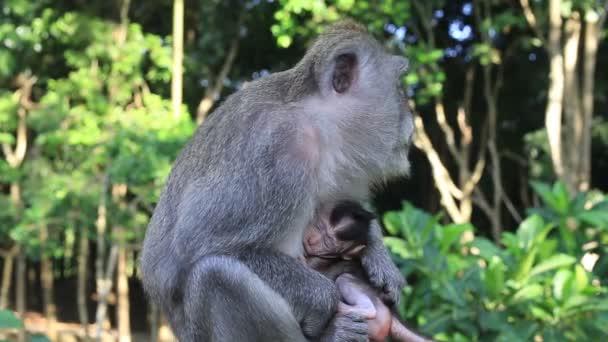 Majom a család Szent monkey forest Ubud, Bali, Indonézia-sziget. Közelről