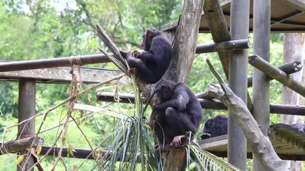 Šimpanzí rodinu v Singapuru Zoo