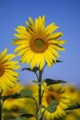 krásná krajina s slunečnicová pole nad modrá obloha