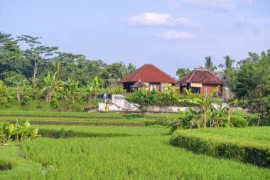 Landscape with rice fields, house and palm tree at sunny day in island Bali, Indonesia. Nature and travel concept