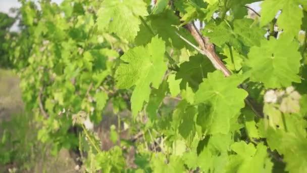 Jarní vinné listy na staré vinici