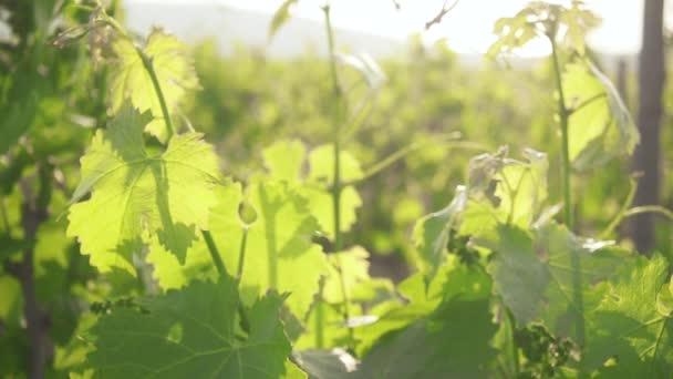 Zpomalený pohyb mladých zelených natáčení hroznů na slunci