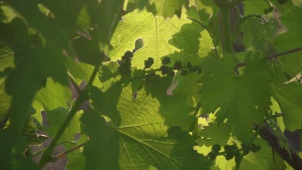 Zpomalený pohyb nezralá hrozen mezi listy