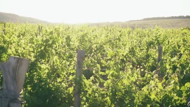 Krajina při západu slunce s vinicí