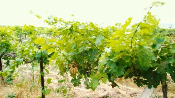 Travnatý Staré vinice a fotoaparát hnutí