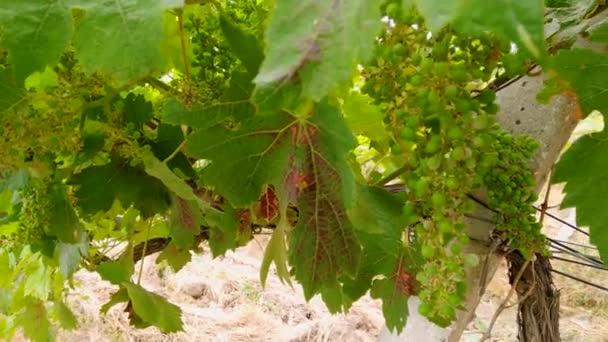Grassy old vineyard and camera movement