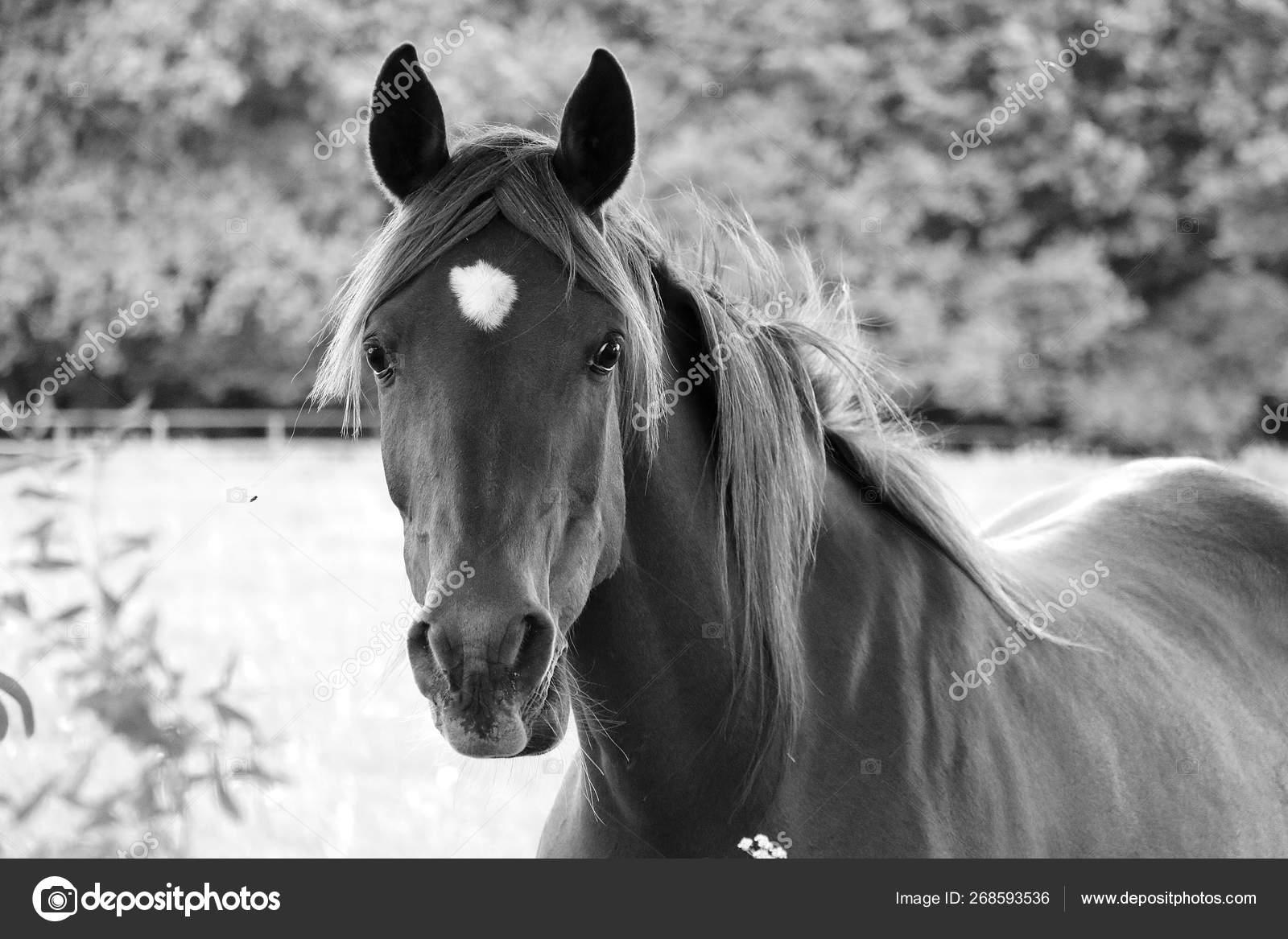 Black White Portrait Beautiful Horse Paddock Stock Photo C Biancagrueneberg 268593536