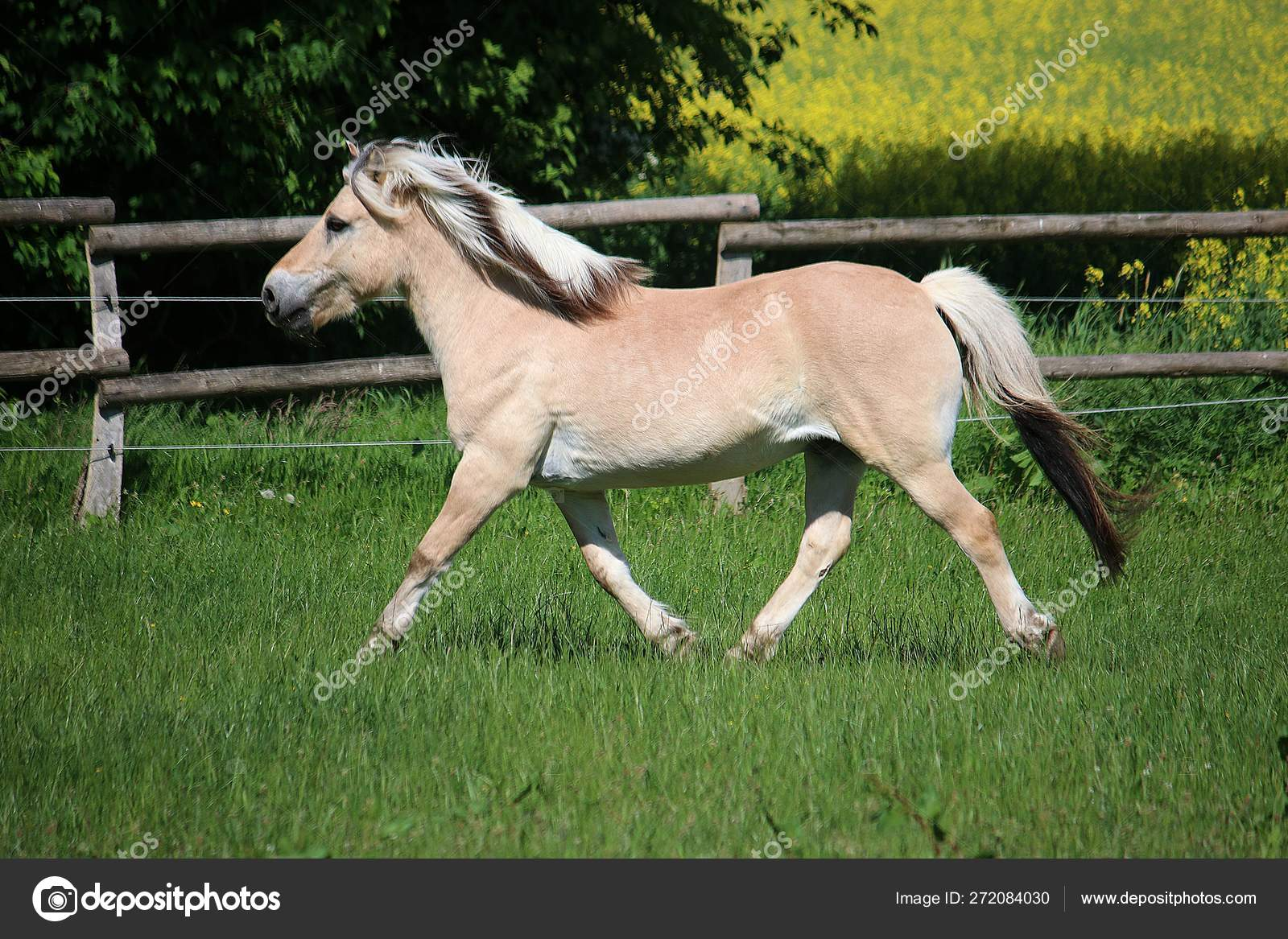 Beautiful Fjord Horse Running Paddock Sunshine Stock Photo C Biancagrueneberg 272084030