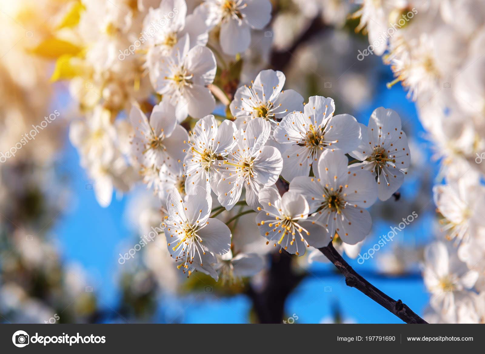 Carta Da Parati Fiori Di Ciliegio : Struttura del fiore ciliegia bianco carta parati primavera u foto