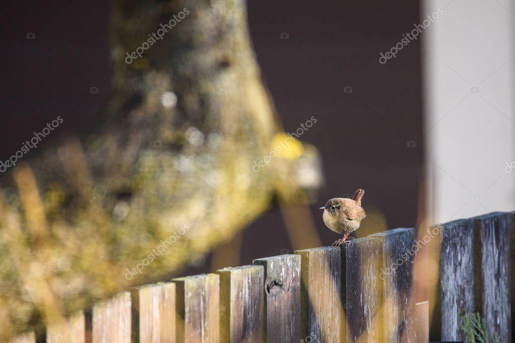 Selective focus photo. The Eurasian wren bird (Troglodytes troglodytes) on wooden fence in garden. Springtime, migratory bird.