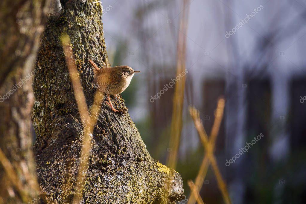 Selective focus photo. The Eurasian wren bird (Troglodytes troglodytes) sitting on plum tree trunk in garden. Springtime, migratory bird.