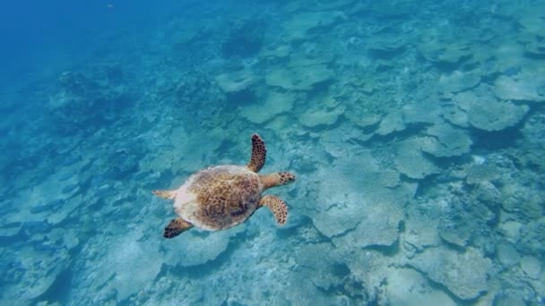 A Hawksbill Or Tortoise Shell Turtle Swimming Over A Coral Reef In The Maldives.
