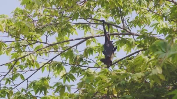Junge neugierige Flughund, eine indische Flughund Pteropus Giganteus, hängt an einem Baum auf den Malediven