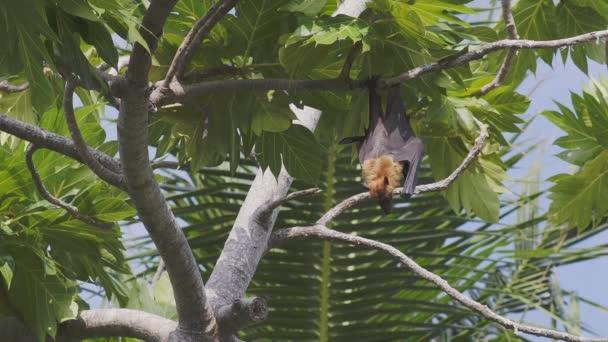 Indické Flying Fox, velkého netopýra těší chladný vzduch pomocí velké křídla větrat, zatímco visí na chleba ovocný strom v Maledivách