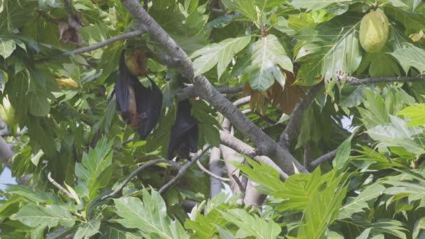 Dva indické Létající lišky chlazení sami pomocí jejich elastické velká křídla jako fanoušci, zatímco visí na chleba ovocný strom v Maledivách