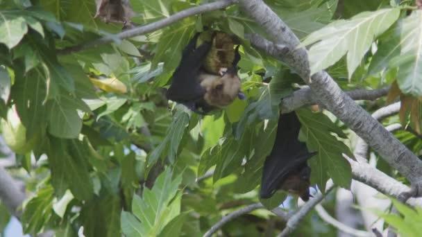 Eine indische Flughund Pteropus Giganteus, genießen Sie ein leckeres Brot Früchte hängen neben andern auf einen Obstbaum Brot auf den Malediven